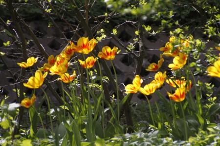 2013-05-tulppaani-Darwin